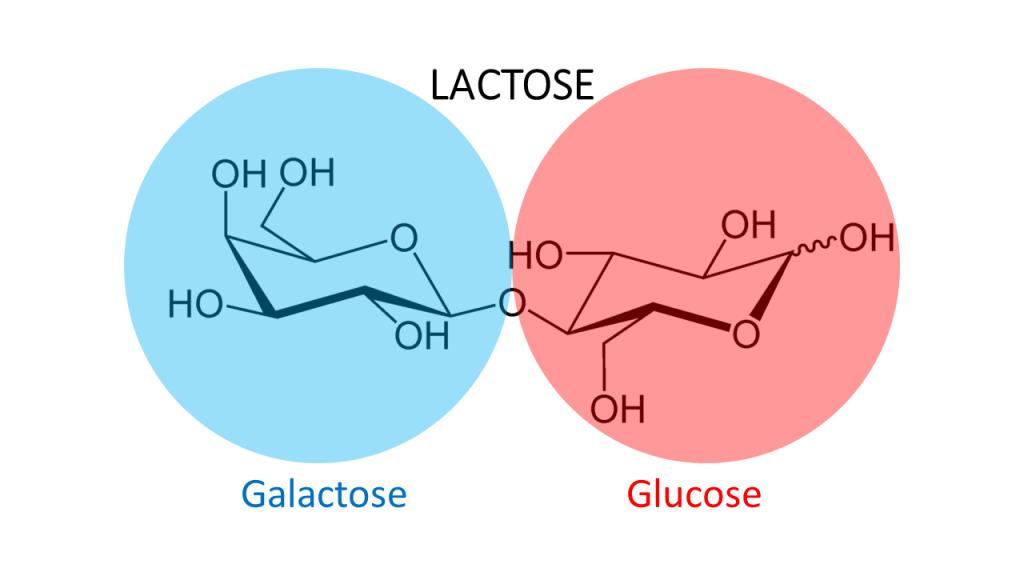 intolérance au lactose nutrition